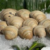 ホンビノス貝8kg【Lサイズ 130g〜160g】 8kg 魚介類(その他魚介) 通販