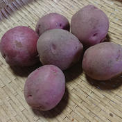 kitchen gardenn  hoshino 新じゃがだよ!アンデスレッド&ノーザンルビーセット! 1kg(500g×2袋)