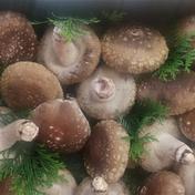 アルファ農産の肉厚しいたけ 1キロ 果物や野菜などのお取り寄せ宅配食材通販産地直送アウル