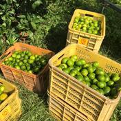 愛媛県西宇和産 極早生みかん家庭用5㎏ 5㎏ 果物 通販