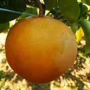 《予約》 豊月 梨 5-6個 愛媛県産 豊月梨 ナシ なし 豊月 5-6個 果物(梨) 通販