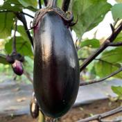 『初出荷特別価格』OO農園の新鮮ナス 1.8kg (おおよそ18本程度) 野菜(茄子) 通販