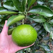 スイートスプリング 5kg 5kg 果物(柑橘類) 通販