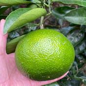 スイートスプリング 10kg 10kg 果物(柑橘類) 通販
