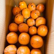 サエフジ甘柿 ご家庭用セット2kg 2-2.5kg 岐阜県 通販