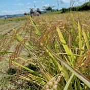 令和2年産京都丹波コシヒカリ25kg【無洗米】 25kg たむら畑