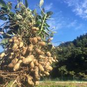 三重県産 生落花生 500g 無農薬無肥料栽培 おおまさり 500g 野菜(豆類) 通販