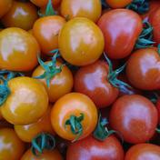 千果&オレンジ千果 ミニトマトセット 1kg 野菜(トマト) 通販