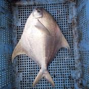 マナガツオ✨送料込み✨(真魚鰹)🐟️ 1キロ前後(1~2匹)🐟️ 魚介類 通販
