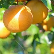 《予約》 あきづき 梨 6-7個 愛媛県産 秋月梨 ナシ なし あきづき 6-7個 果物(梨) 通販