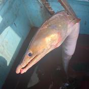 【瀬戸内産】ハモ。送料込み 1キロ前後(1本〜3本) 魚介類 通販