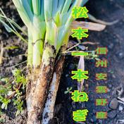 のぐちファーム安曇野産☆サイズ混合松本いっぽんネギ土つき3kg 3kg 野菜(ねぎ) 通販