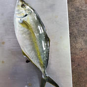 父の日 養殖シマアジ お試し 1.0~1.5kg マルシゲ水産