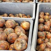 【期間限定】じっちゃん市場のトロトロ新玉ねぎ(オマケつき) 5Kg(生ものですので多少の前後はお許しください) 果物や野菜などのお取り寄せ宅配食材通販産地直送アウル