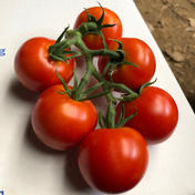 三浦産!フルティカトマトのサラダセット 2食分 340g 野菜 通販