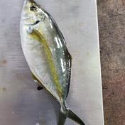 父の日 養殖シマアジ お試し 0.8~1.0kg マルシゲ水産