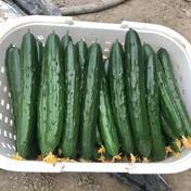 福岡県大木町産 白いぼきゅうり 2kg箱(約12本〜16程度) 野菜(きゅうり) 通販