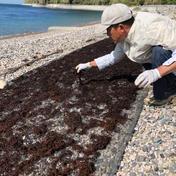 【徳用】ミネラルたっぷり瀬戸内海産ひじき(120g×3袋) 120g×3袋 魚介類(海藻) 通販