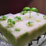 バジルのマイクロリーフ(幼葉) 12幼葉がスポンジの上に 野菜(ハーブ) 通販