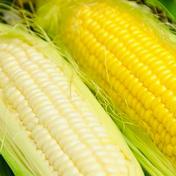 大作農園のスイートコーン(白5本、黄色5本)10本入り 10本 野菜(とうもろこし) 通販
