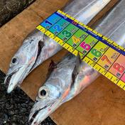 [瀬戸内発] 活〆 一本釣り太刀魚(小)2匹セット 真空冷凍でお届け♪ 太刀魚(小)2匹セット 釣り角田