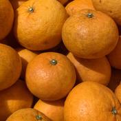 伊豆白浜産 自然栽培の甘夏【訳あり】10kg 約10kg 果物(柑橘類) 通販