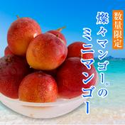 【希少】沖縄県産 燦々マンゴー ミニ1.5kg 1.5kg 果物 通販