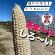 ワカイファーミーの白とうもろこし!倍増パック! 7kg (14~20本) 広島県 通販