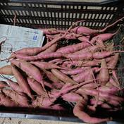 【クズもの】「べにはるか」「シルクスイート」 「べにはるか」「シルクスイート」それぞれ1kg 野菜(さつまいも) 通販