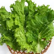こころ農園のリーフレタス  200g 野菜(レタス) 通販