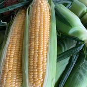 《ゴールドラッシュ》とうもろこし5kg 13本入 5kg 果物や野菜などのお取り寄せ宅配食材通販産地直送アウル