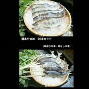 阿蘇から届く 湧水やまめ 20匹セット(10匹串あり・10匹串なし) 20匹(串つき10匹・串なし10匹) 魚介類(川魚) 通販