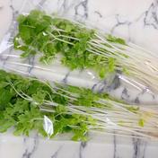 株式会社 大剛 伏見工場 野菜プラント 【高血圧やイライラが気になる方に】珍しい!やリサちゃんのホワイトセロリ(お試し用) 約300g