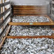 父の日ギフトに瀬戸内の伊吹島 釜揚げいりこ バラ凍結900g入 300g入3袋 魚介類(その他魚介の加工品) 通販