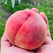 桃 あかつき 小玉 約3kg(12個) 約3kg(12個) 果物や野菜などのお取り寄せ宅配食材通販産地直送アウル
