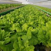 砂栽培 サンチュ 10枚×30袋 果物や野菜などのお取り寄せ宅配食材通販産地直送アウル