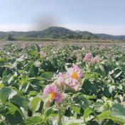 庄山農園 【訳あり】北海道産新じゃが きたあかり 10kg