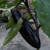訳あり とろとろ茄子 2キロ以内 果物や野菜などのお取り寄せ宅配食材通販産地直送アウル