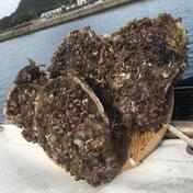 萩産天然岩牡蠣約2㌔ 約2㌔ 魚介類(牡蠣) 通販