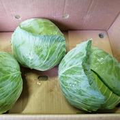 ひぐらし農場の寒玉キャベツ 6個(1個1kg以上全体で8kg〜10kg程度) なべくら高原ひぐらし農場