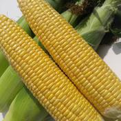 ●お中元●生食可能!甘さバツグン🌽プレミアムとうもろこし サイズお任せ2kgセット 2kg(サイズお任せ5〜7本程度) 果物や野菜などのお取り寄せ宅配食材通販産地直送アウル