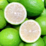 お試し1K☆ワックス防腐剤不使用グリーンレモンおまけ付 1キロ 果物(レモン) 通販