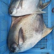 マナガツオ✨送料込み✨(真魚鰹)🐟️ 2キロ前後(1~2匹)🐟️ 魚介類 通販