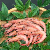美しい!珊瑚色したトロえび(中小80-100尾前後/kg) 1kg(中小80-100尾前後/kg) 魚介類 通販