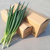 【4㎏冷蔵】ねっこ農園の青ネギ 4kg 野菜(ねぎ) 通販