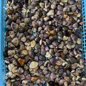 九十九里地はまぐり 極小 期間限定セール品 6月25日まで  3キロ入 魚介類 通販