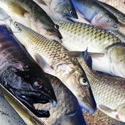 琵琶湖の旬を届ける淡水魚セット 5~10種目 滋賀県 通販