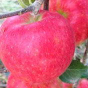 【30名限定】夏りんごの革命児。甘くて硬い味の濃いりんご「夏あかり」約3 kg 約2.8kg キーワード: お中元 通販
