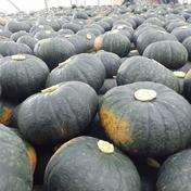たてお農園 【大きめサイズ】JGAP認証農場の『ふらの産かぼちゃ』3玉(約4kg) 3玉(約4kg)