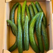鈴木清友農園のきゅうり 12本 野菜(きゅうり) 通販